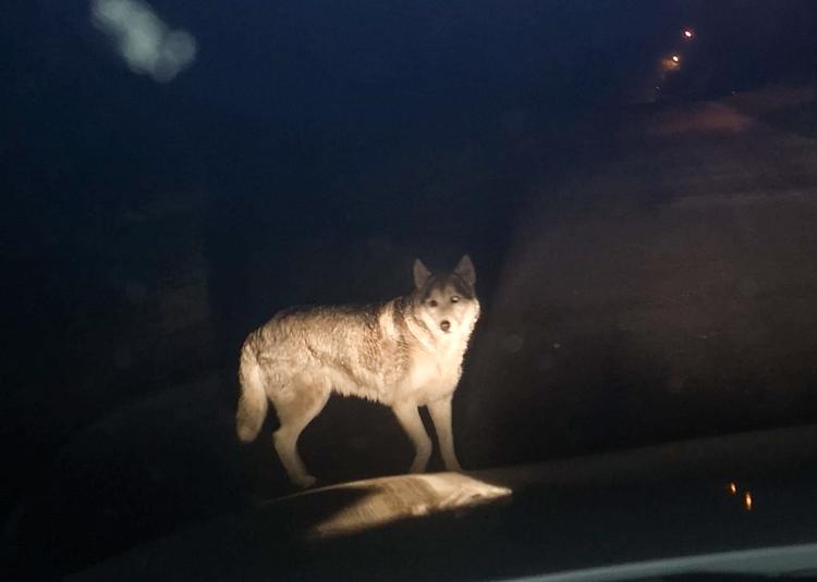 Wilk na drodze koło Bełchatowa? Mamy zdjęcia!  - Zdjęcie główne