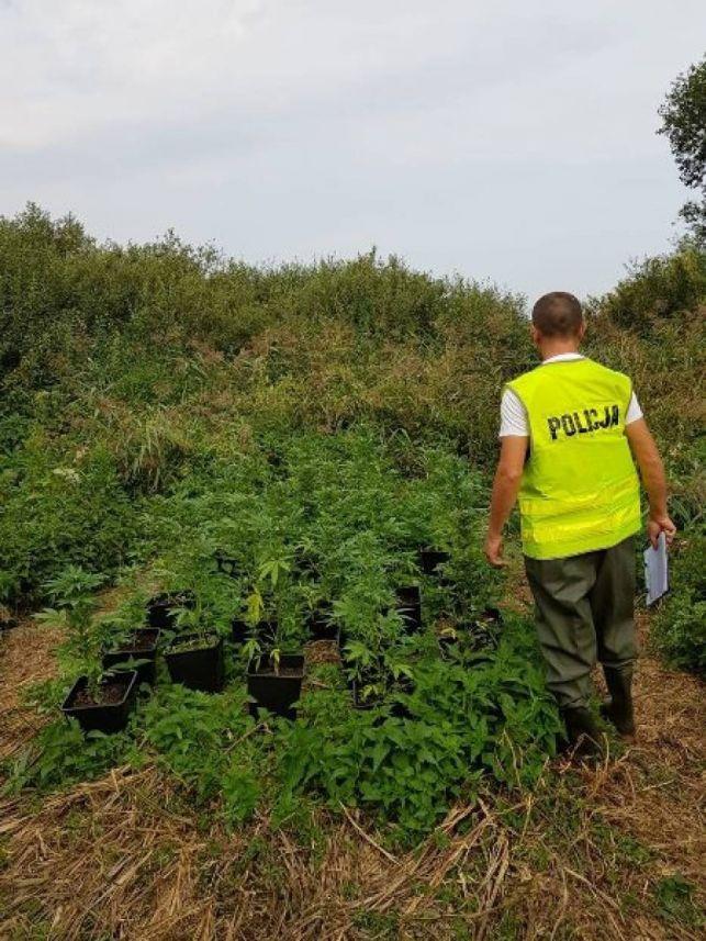 Policjanci znaleźli trzy plantacje marihuany. Nie wiedzą tylko kogo ukarać.. - Zdjęcie główne