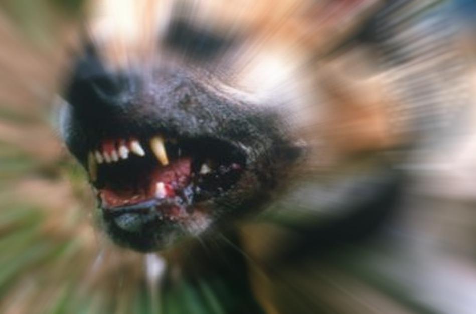 Amstaff rozszarpał psa na Dolnośląskim. Interweniowała policja i straż miejska - Zdjęcie główne