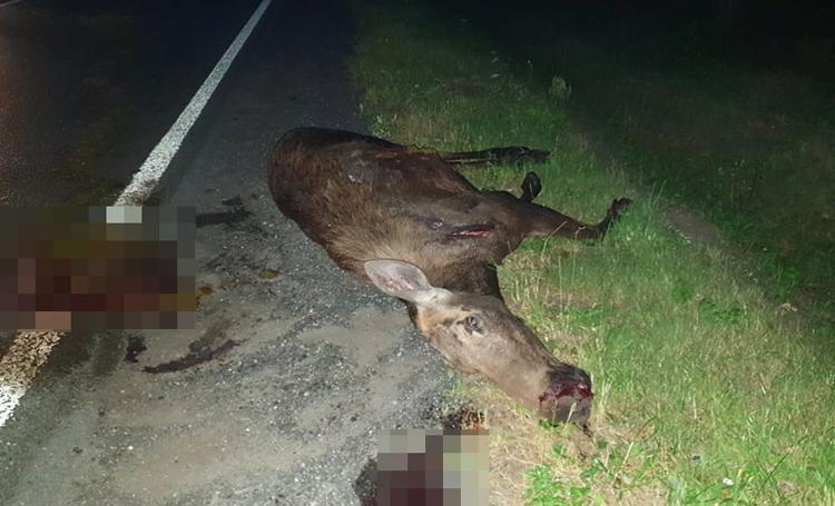 Olbrzymi łoś wybiegł na drogę między Bełchatowem i Klukami. Roztrzaskane auto, zwierzę nie przeżyło [FOTO] - Zdjęcie główne