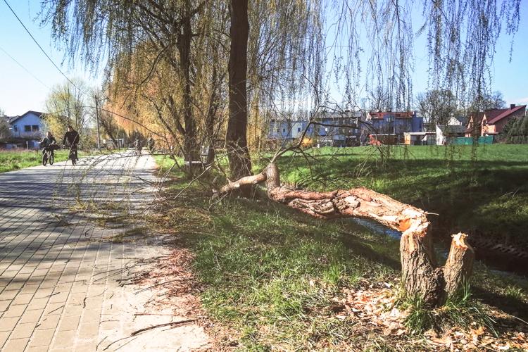Bobry ''rozrabiają'' w centrum Bełchatowa. Gdzie tym razem dały o sobie znać? [FOTO] - Zdjęcie główne