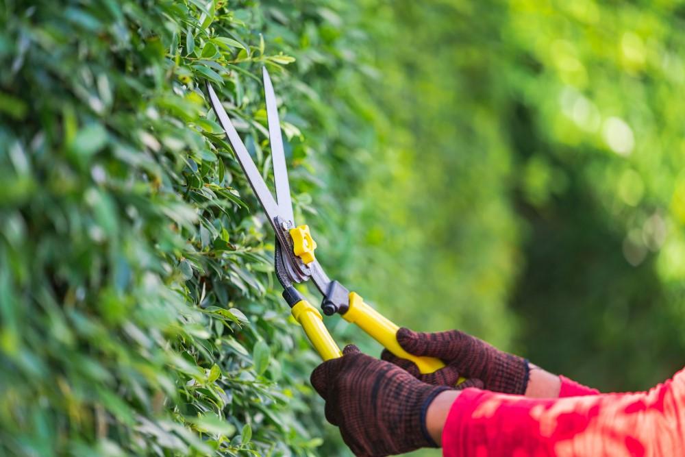 Zestawienie roślin najlepiej nadających się na żywopłot - Zdjęcie główne