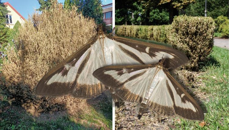 Azjatycki szkodnik atakuje rośliny w Bełchatowie. W tym roku to istna plaga - Zdjęcie główne