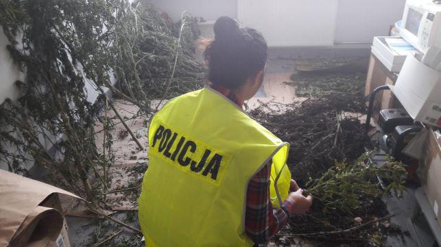 Plantacja marihuany nad Zalewem Cieszanowickim. Policjantom pozostaje jedno ważne pytanie... - Zdjęcie główne