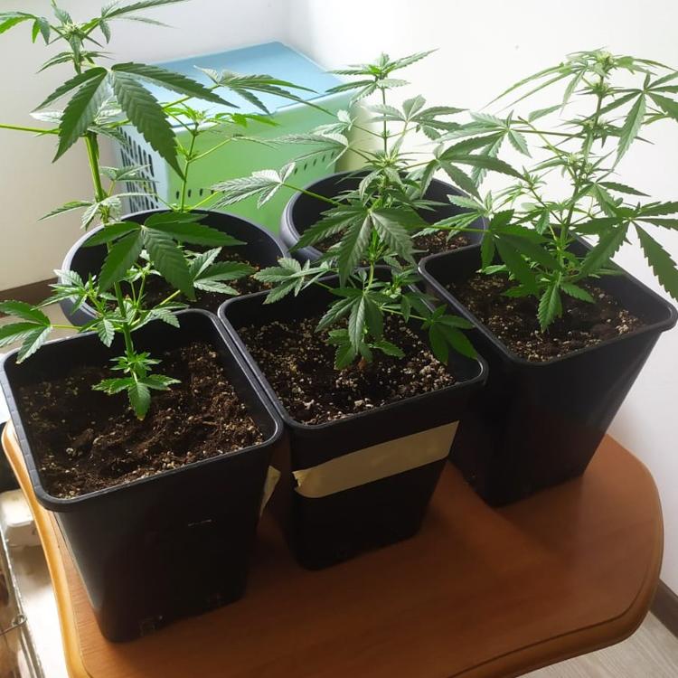Matka i jej 19-letnia córka uprawiały marihuanę. Grozi im do 3 lat więzienia - Zdjęcie główne