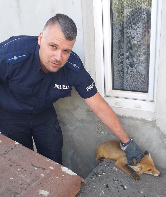 Policjanci dostali wezwanie. Pomocy potrzebował... lis - Zdjęcie główne