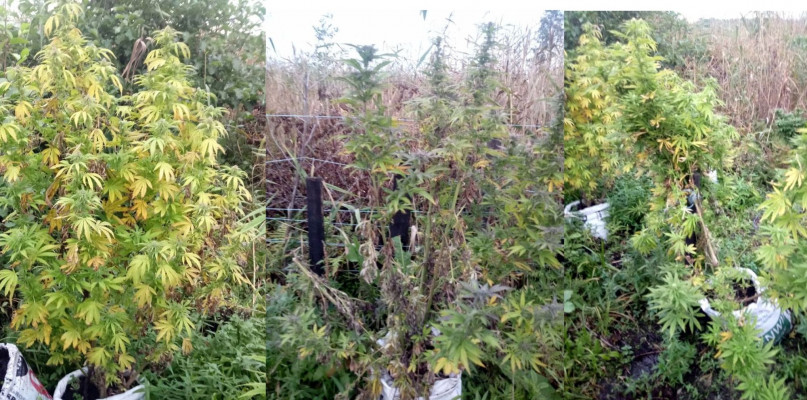 Uprawiał konopie na bagnach. 700 gramów nie pójdzie z dymem - Zdjęcie główne