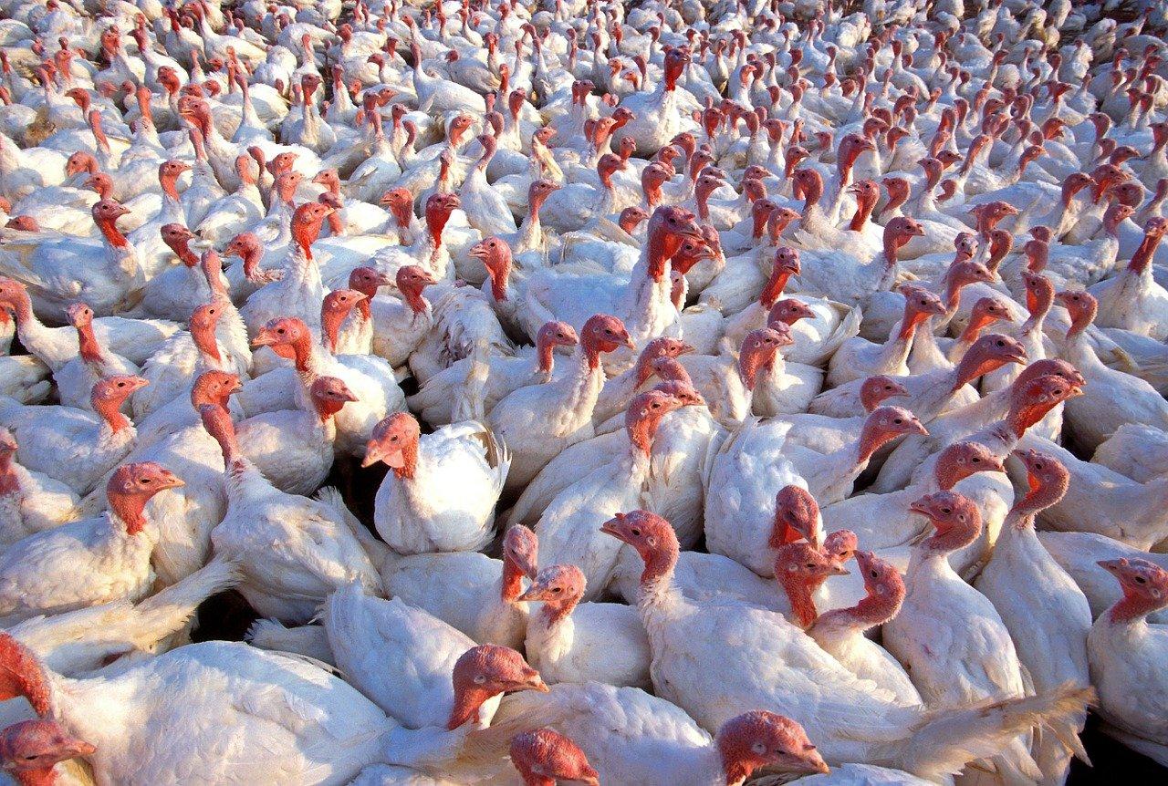 Ptasia grypa atakuje! Wykryto ją na fermie pod Gostyninem - Zdjęcie główne