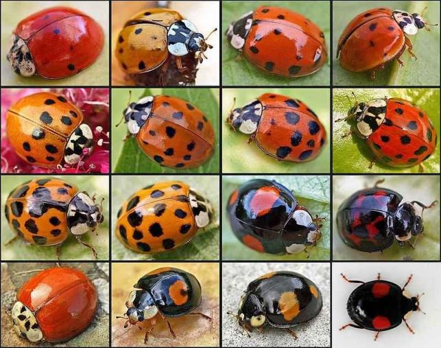 Uwaga! Te owady to nie biedronki - Zdjęcie główne