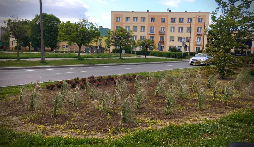 Kutno drzewami stoi? W ubiegłym roku w naszym mieście zasadzono... - Zdjęcie główne