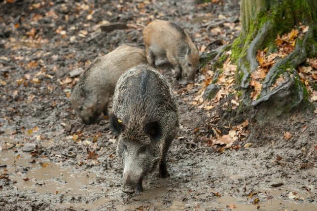Afrykański pomór świń dociera do Kutna?! - Zdjęcie główne