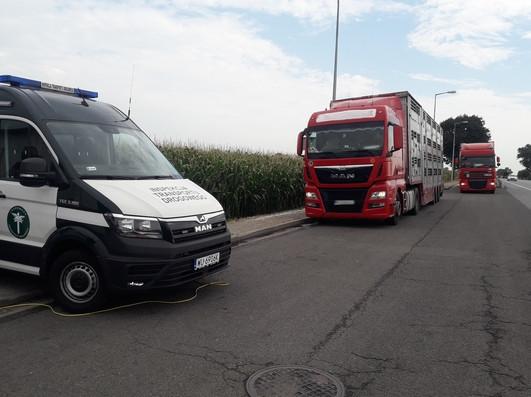 [FOTO, WIDEO] Ciężarówki przewożące świnie zatrzymane. Transport za ciężki o 10 ton! - Zdjęcie główne