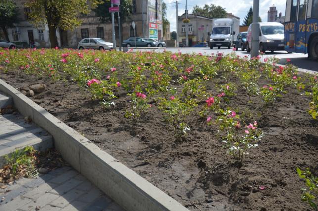 Miasto coraz bardziej rozkwita różami - Zdjęcie główne