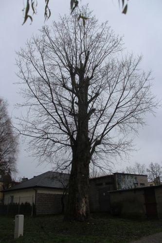 Drzewo przewróci się na mieszkańców? Proszą o jego wycięcie - Zdjęcie główne
