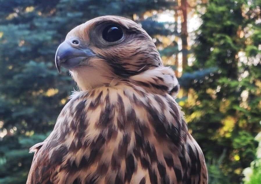 W okolicach Kutna zaginął... sokół. Ptak zniknął po obchodach Dnia Dziecka - Zdjęcie główne