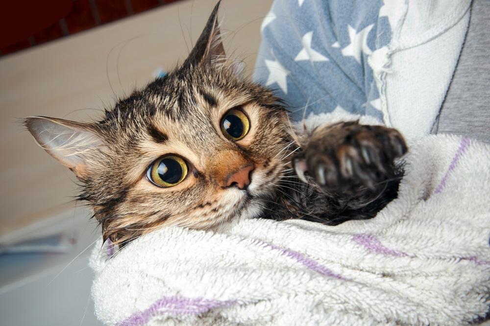 Jak prawidłowo wykąpać kota? - Zdjęcie główne