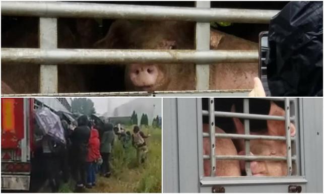 [ZDJĘCIA, WIDEO] Kolejna akcja wegan pod ubojnią. Towarzyszyli zwierzętom w ich ostatnich chwilach - Zdjęcie główne