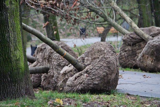 W Parku Traugutta piły poszły w ruch - Zdjęcie główne