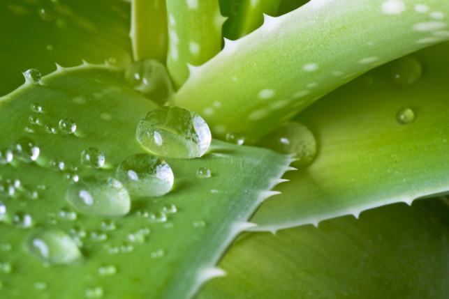 Aloes - piękna roślina doniczkowa i naturalny składnik kosmetyków o szerokim działaniu.  - Zdjęcie główne