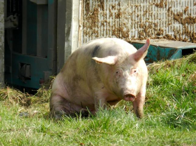 Z przymrużeniem oka. Świnia vs konie mechaniczne - Zdjęcie główne