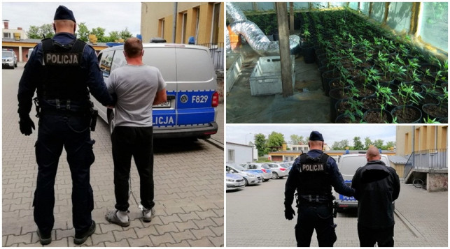 [ZDJĘCIA] Kutnowska policja uderza w narkotykowy biznes! Zlikwidowali dużą plantację konopi - Zdjęcie główne