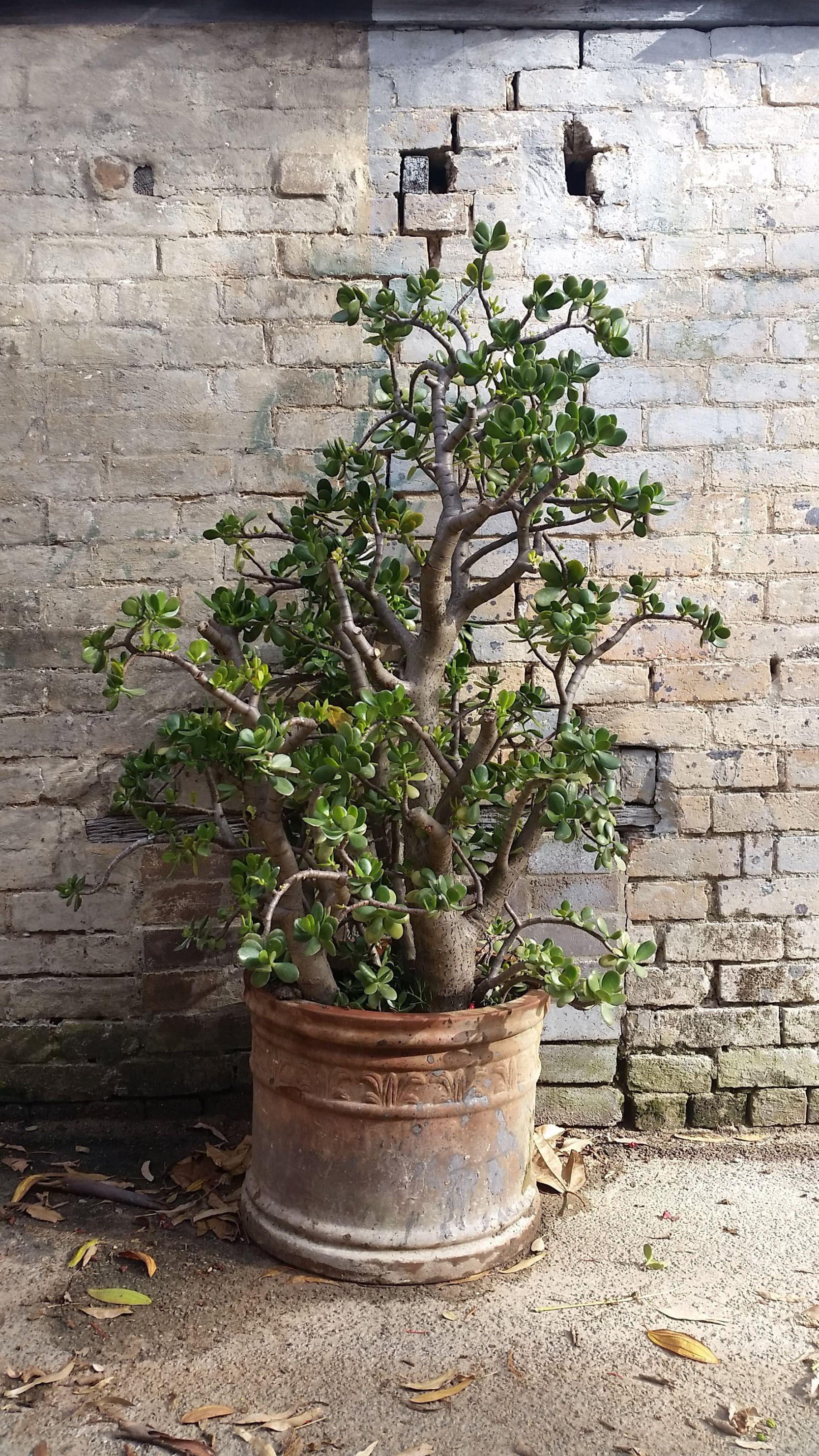 Uprawa i pielęgnacja drzewka szczęścia - Zdjęcie główne