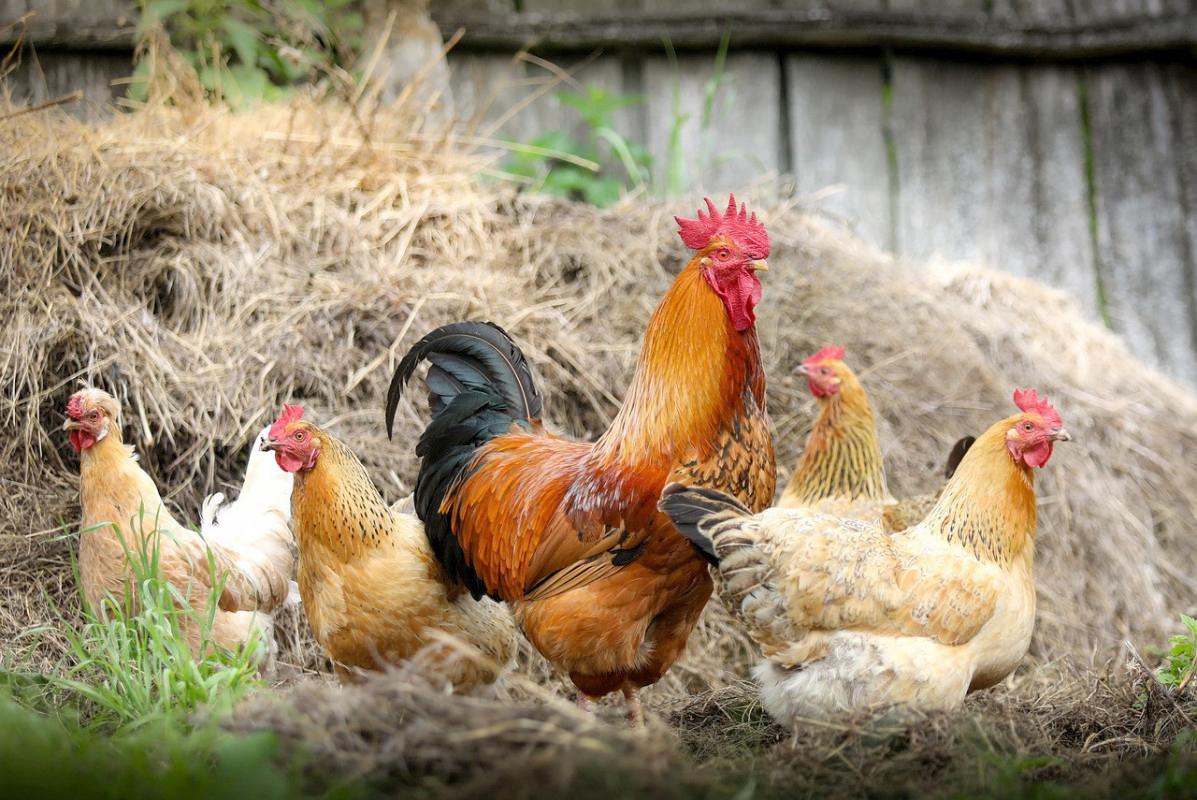 Zbliża się do nas ptasia grypa?! - Zdjęcie główne