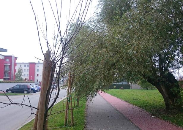 Uschnięte drzewa. Jak były, tak są [FOTO] - Zdjęcie główne