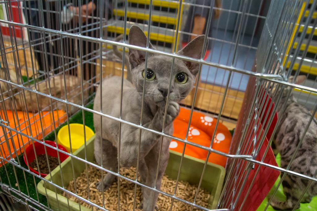 Światowa Wystawa Kotów Rasowych w Płocku [ZDJĘCIA] - Zdjęcie główne
