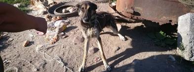 Wychudzone psy wegetują na krótkich łańcuchach - Zdjęcie główne