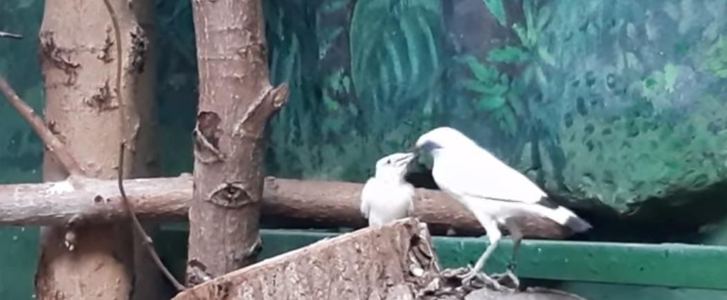 Na wolności jest ich ok. 50. Jeden z najrzadszych ptaków na świecie wykluł się w Płocku  - Zdjęcie główne