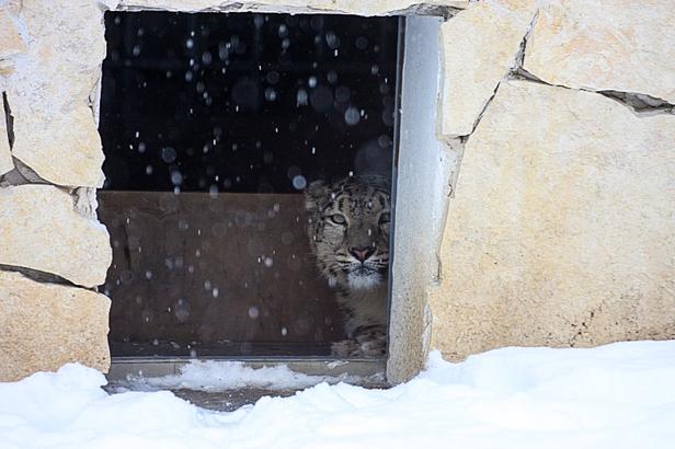 Zoo zimą. Jak radzą sobie zwierzęta?[FOTO] - Zdjęcie główne
