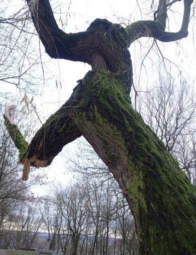 Często obok nich przechodzimy. Które drzewa w Płocku są tymi najstarszymi? - Zdjęcie główne