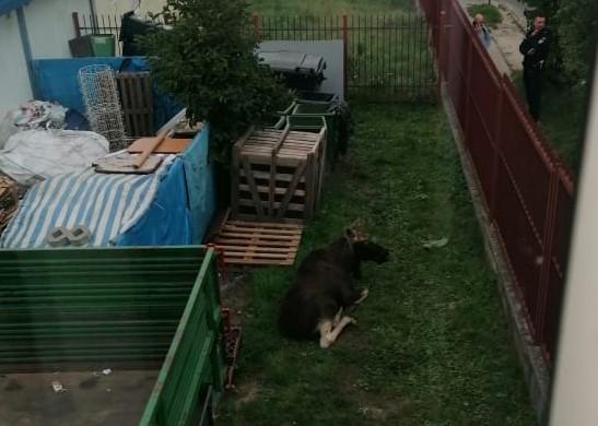 Łoś na ulicach Płocka. Zwierzak biegał po centrum miasta  - Zdjęcie główne