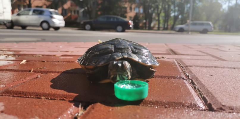 Żółw w jednym z płockich śmietników. Przypadek czy celowe działanie? - Zdjęcie główne