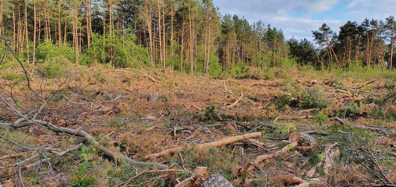 Mapa grozy. W Płocku wycinają lasy na potęgę? Lasy Polskie odpowiadają - Zdjęcie główne