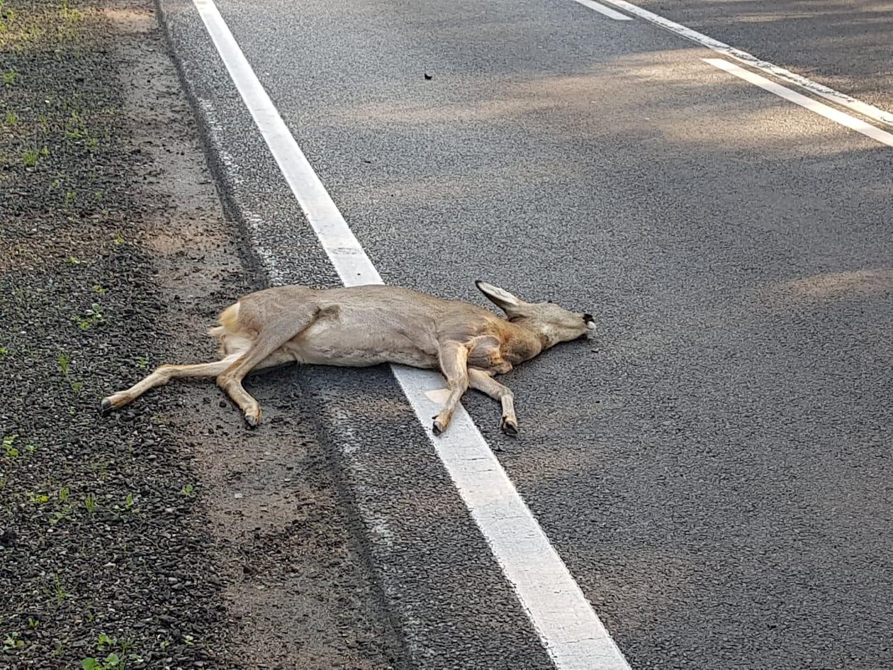 Problem z dziką zwierzyną pod Płockiem. - Ciężko przejechać bez wybiegających saren - Zdjęcie główne