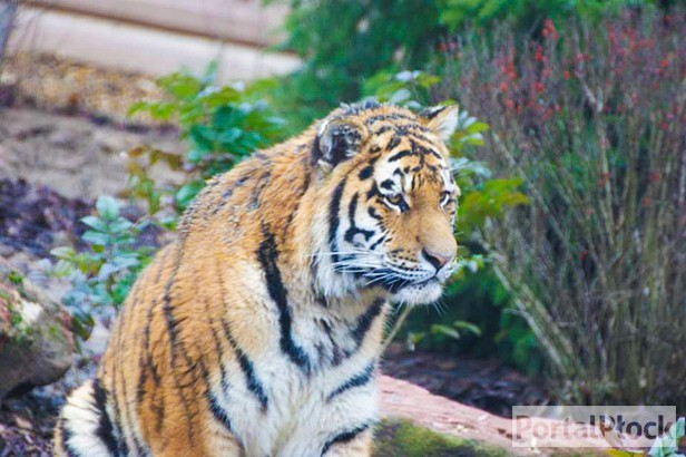 Szukają imion dla dwóch panter i tygrysa - Zdjęcie główne