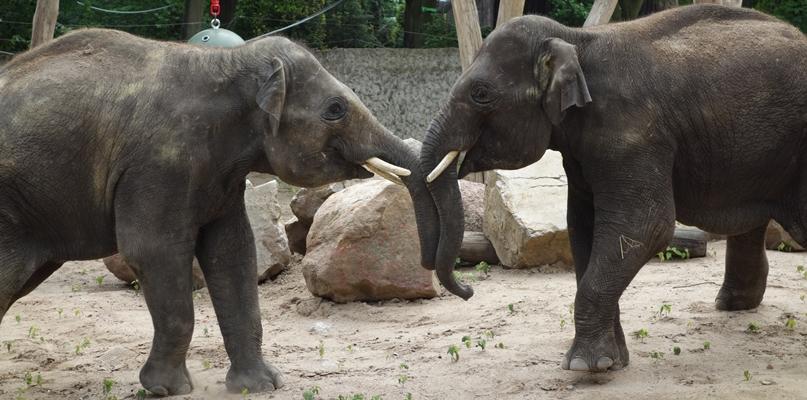 Zagwozdka z indyjskimi słoniami. Imiona są do zmiany - Zdjęcie główne