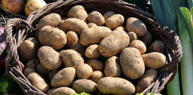 Te ziemniaki mają groźną bakterię! - Zdjęcie główne