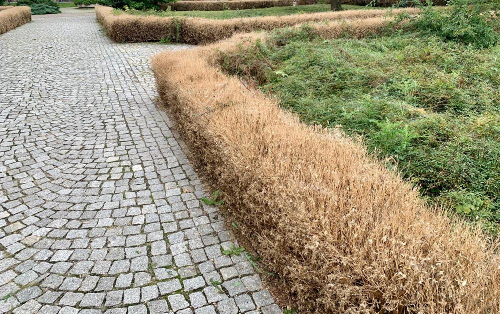 Plaga szkodników na roślinach w Płocku. Konieczna wycinka? - Zdjęcie główne