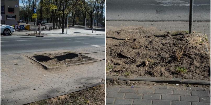 Płocczanka dopytuje: dlaczego wycięto kolejne drzewa?  - Zdjęcie główne