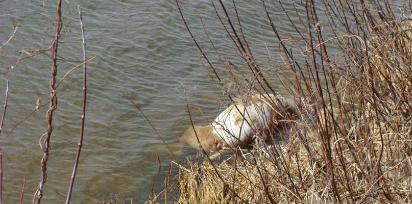 Martwy pies ze związanymi łapami dryfował w rzece - Zdjęcie główne