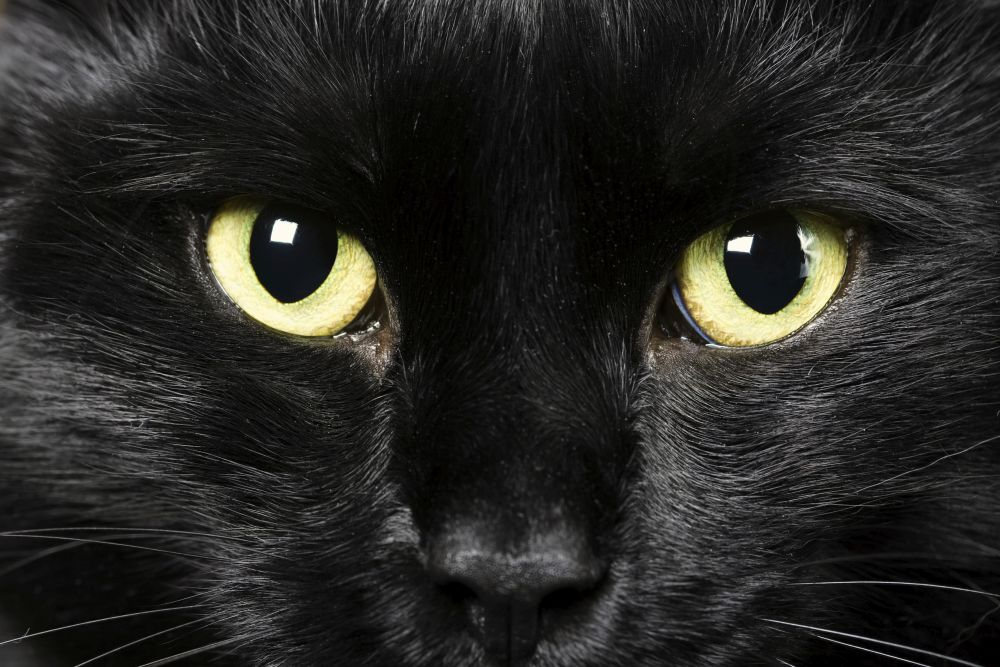 Kot burmski - charakterystyka rasy - Zdjęcie główne