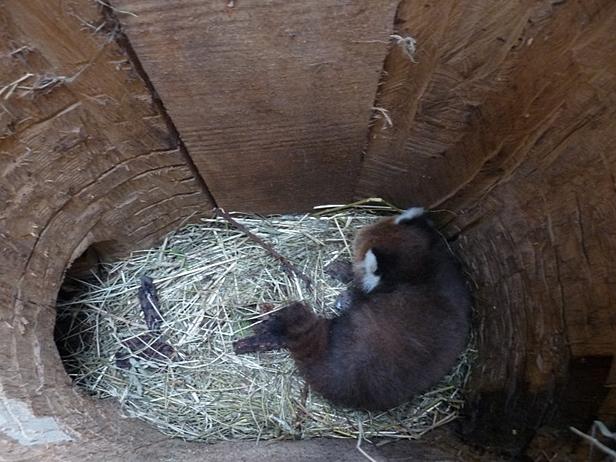 Nasza panda to kawaler na wydaniu [FOTO] - Zdjęcie główne