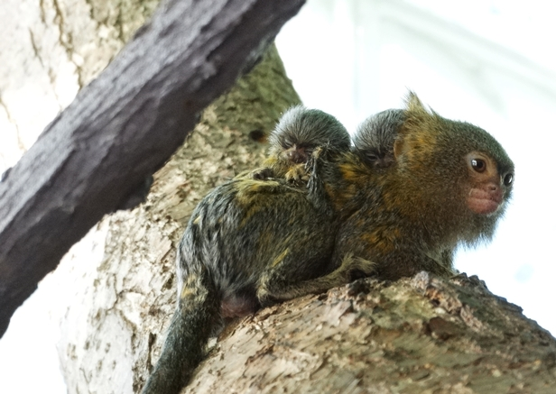 Wieści z zoo. Narodziny bliźniaków [FOTO] - Zdjęcie główne
