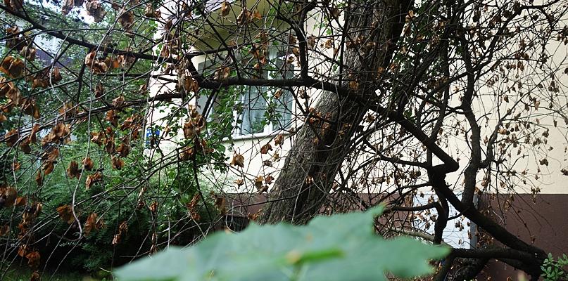Suche drzewa straszą na ulicach. Zagrażają bezpieczeństwu? - Zdjęcie główne