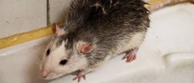 Plaga szczurów na osiedlu. Mieszkańcy przerażeni - Zdjęcie główne