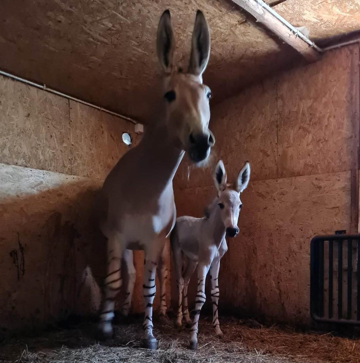 Kolejne narodziny w zoo. Tym razem to osioł somalijski [ZDJĘCIA] - Zdjęcie główne