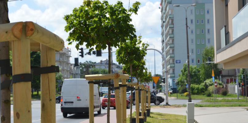 W Płocku mają pojawić się nowe drzewa. Sprawdź gdzie - Zdjęcie główne